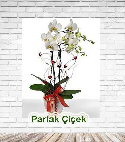 Çift Dal Orkide Beyaz
