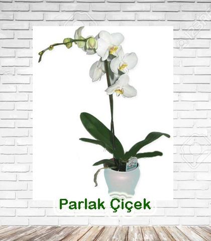 Orkide Beyaz Tekli