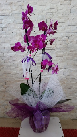 Orkide Pembe 2 Dal