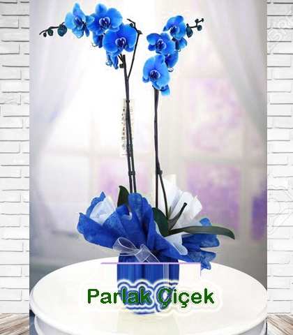 Orkide Saksı Çiçeği Mavi